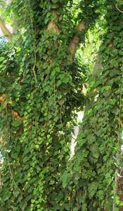 tree-covered-with-ivy-10811277835546tBlw 3