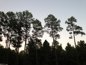 trees as sun does down